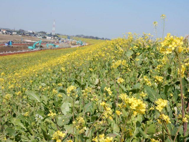 江戸川サイクリングロード 菜の花
