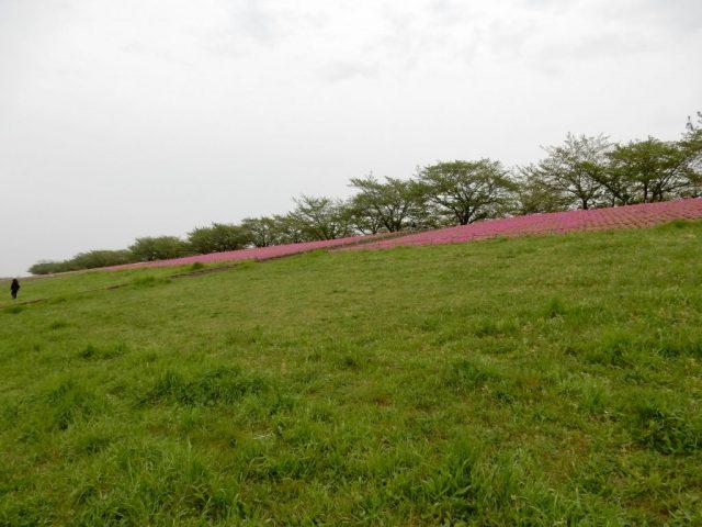 荒川大橋 芝桜